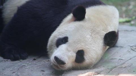 Beijing Olympic panda in sleeping HD Footage