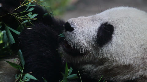 Beijing Olympic panda at eating time HD Footage