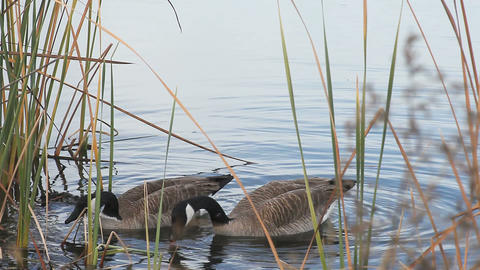 honking Canada goose Stock Video Footage