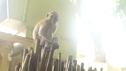 monkey sitting on a bamboo fence Footage