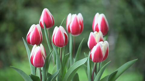 red and white tulips Footage