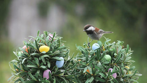 chickadee on Easter egg tree Footage