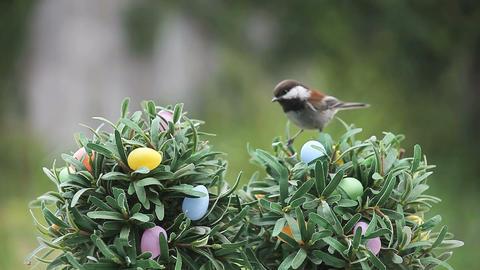 chickadee on Easter egg tree Footage