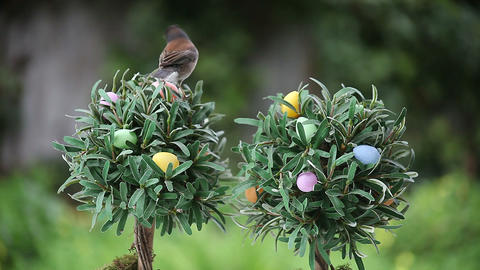 songbird on tree with Easter eggs Footage