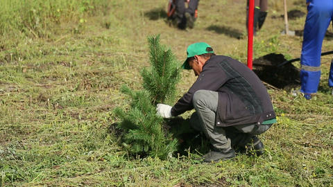 Planted spruce Footage