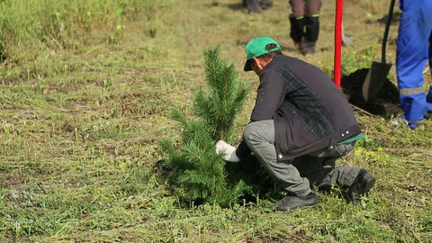 Planted spruce Stock Video Footage