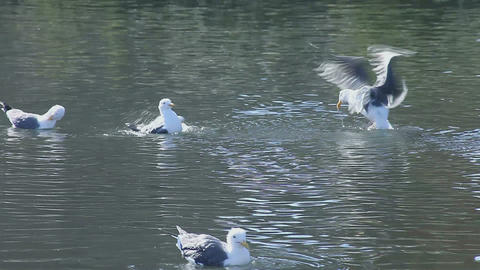 seagulls bathing vigorously Stock Video Footage