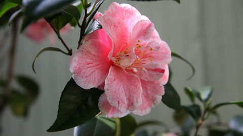 camellia with ants Stock Video Footage