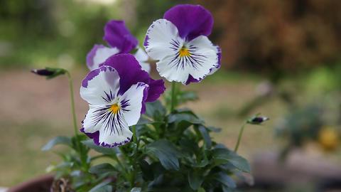 purple and white pansies Footage
