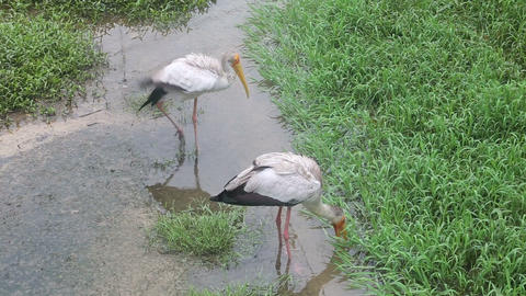 stork walks along the creek Footage