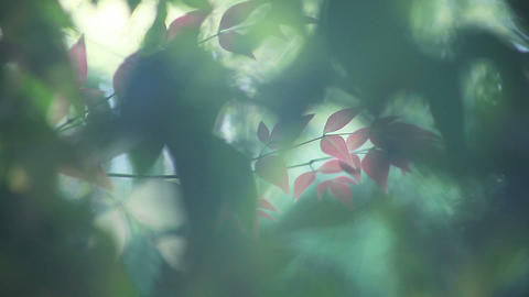 new spring nandina leaves Footage