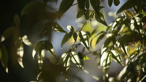 leaves in sun and shade Footage