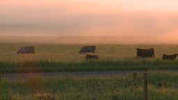 HD2008-7-1-6 sunrise fog cows Footage