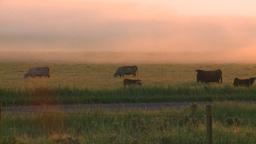 HD2008-7-1-6 sunrise fog cows Stock Video Footage