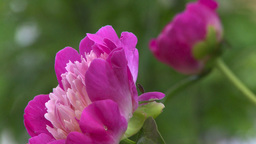 HD2008-7-2-4 flowers peonies Stock Video Footage