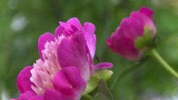 HD2008-7-2-4 flowers peonies Stock Video Footage