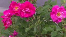 HD2008-7-2-6 flowers wild rose Footage