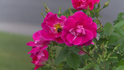HD2008-7-2-8 flowers wild rose bee Stock Video Footage