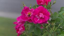 HD2008-7-2-8 flowers wild rose bee Stock Video Footage