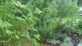 HD2008-7-2-10 Rain Falling In Green Garden stock footage