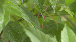 HD2008-7-2-12 Rain Falling In Green Garden stock footage