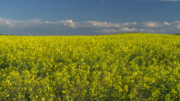 HD2008-6-7-4 canola evening Stock Video Footage
