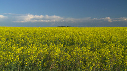 HD2008-6-7-6 canola evening pan Stock Video Footage