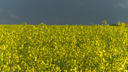 HD2008-6-7-8 canola evening Z Stock Video Footage