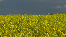HD2008-6-7-8 canola evening Z Footage