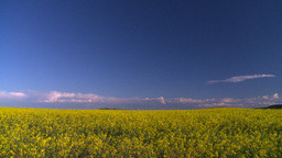 HD2008-6-7-10 canola evening Stock Video Footage