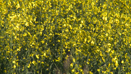 HD2008-6-7-12 canola evening Z Stock Video Footage