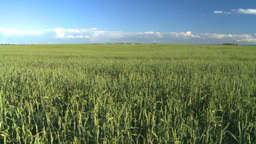 wheat evening Stock Video Footage