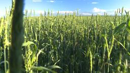 wheat evening going thru Stock Video Footage
