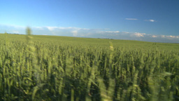 wheat evening going thru Stock Video Footage