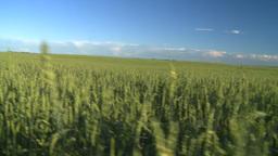 wheat evening going thru Footage
