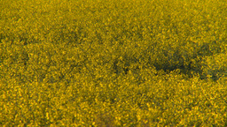 HD2008-6-7-40 canola evening Z Footage