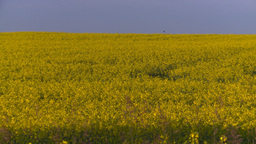 HD2008-6-7-40 canola evening Z Stock Video Footage