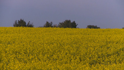 HD2008-6-7-42 canola evening Stock Video Footage