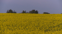 HD2008-6-7-42 canola evening Footage