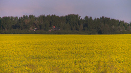 HD2008-6-7-44 canola evening Z Stock Video Footage