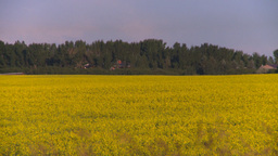 HD2008-6-7-44 canola evening Z Footage