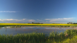 HD2008-6-7-46 canola pond evening Stock Video Footage