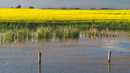 HD2008-6-7-50 canola pond evening Stock Video Footage