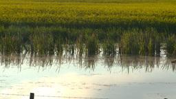 HD2008-6-7-56 canola pond evening Z Stock Video Footage