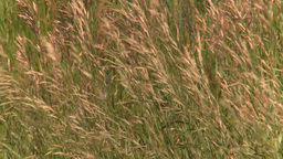 HD2008-7-10-1 wild grass blowing in wind Footage