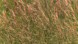 HD2008-7-10-1 wild grass blowing in wind Stock Video Footage