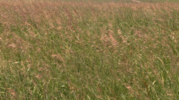 HD2008-7-10-3 wild grass blowing in wind Stock Video Footage