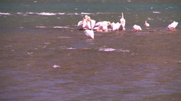 HD2008-7-14-2 pelicans on river Stock Video Footage