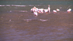HD2008-7-14-2 pelicans on river Footage