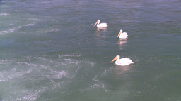 HD2008-7-14-4 pelicans on river Stock Video Footage